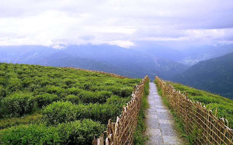 Sikkim Tour to Temi Garden